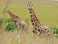 Rothschild's Giraffes (Giraffa camelopardalis rothschildi) (6861328151).jpg