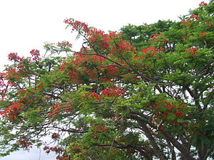 Gordonvale, Queensland - Delonix regia, the Royal Poinciana tree in flower, Church Street, Gordonvale, Queensland. Seed pods visible on upper branches.
