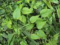 Rubia cordifolia 06.JPG