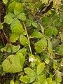 Rubus caesius, Rubiaceae 01.jpg
