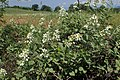 Rubus canescens kz04.jpg