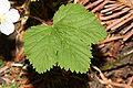 Rubus lasiococcus 1326.JPG