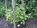 Rubus montanus - Botanischer Garten, Frankfurt am Main - DSC02466.JPG