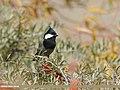 Rufous-naped Tit (Periparus rufonuchalis) (43867466800).jpg