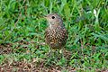 Rufous-tailed Rock Thrush Monticola saxatilis - 1st winter male - Front.jpg