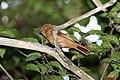 Rufous Mourner (Rhytipterna holerythra) (4504931377).jpg