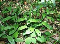 Ruscus hypoglossum.jpg