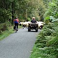 Rush hour^ Cwm Hirnant Road - geograph.org.uk - 644528.jpg