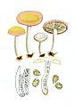 Russula risigallina-Bras.jpg