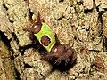 Saddleback Caterpillar (37067604920).jpg