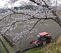 Sakura , 桜 - panoramio (7).jpg