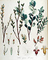 Salix repens — Flora Batava — Volume v14.jpg