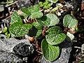 Salix reticulata 1.JPG