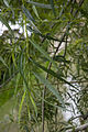 Salix viminalis berry-au-bac 02 01062007 3.jpg