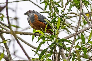 Rufous-bellied mountain tanager species of bird