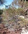 Salton Sea - Silvery Cassia (Cassia phyllodinea).JPG