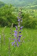 Salvia pratensis RF.jpg