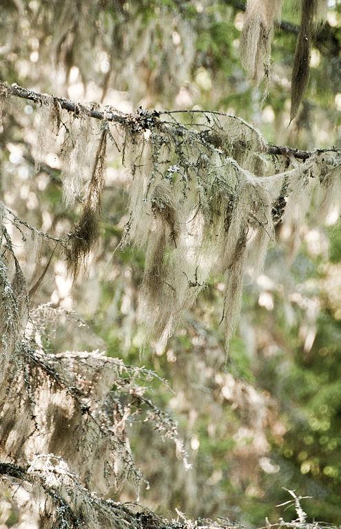 Lišajník bradatec na konároch stromu