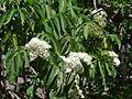Sambucus peruviana of the Adoxaceae (8429008000).jpg