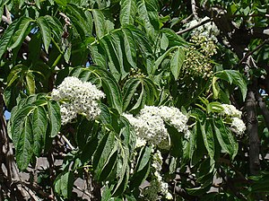 Sambucus peruviana - Leaves and inflorescences.
