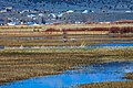 Sandhill cranes (15550699304).jpg