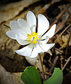 Sanguinaria canadensis William Penn State Forest.jpg