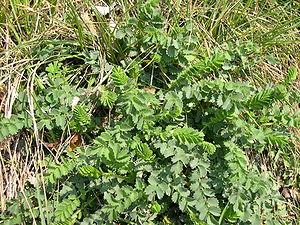 Sanguisorba minor - Leaves, used in salads