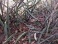 Sansevieria sp, Mount Maco 3 (5233978140).jpg