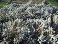 Santolina chamaecyparissus (santoline).JPG