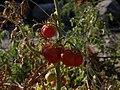 Santorinis Cherry Tomatoes (754575817).jpg