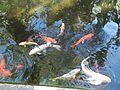 Sarasota FL Selby Gardens koi02.jpg