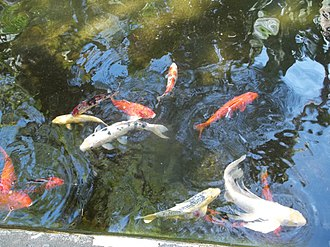 Marie Selby Botanical Gardens - Image: Sarasota FL Selby Gardens koi 02