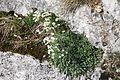 Saxifraga paniculata, Creux du Van - img 43430.jpg