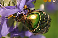 Scarabaeidae Cetonia aurata.jpg