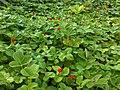 Scheinerdbeere (Potentilla indica)-1.JPG