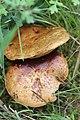 Schiermonnikoog - Boleet (Suillus sp).jpg