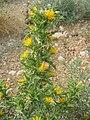 Scolymus hispanicus.jpg