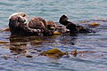 Sea Otter mother with one baby pup (9170770574).jpg