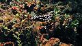 Sea Slug (Phyllidiella pustulosa) (6064232985).jpg