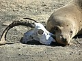 Sea lion with goat skull.jpg