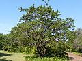 Searsia chirindensis, habitus, b, Pretoria NBT.jpg