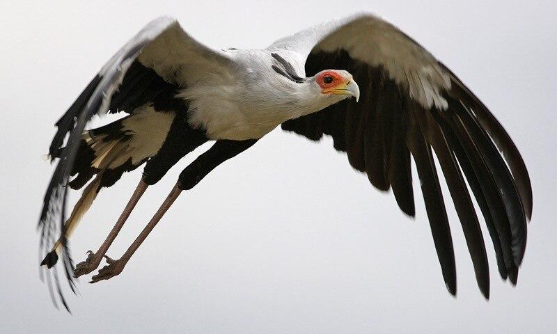 Secretary bird gliding to the right