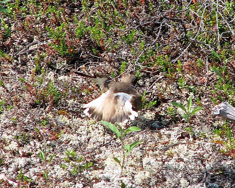 File:Semipalmated Plover, broken wing display.jpg