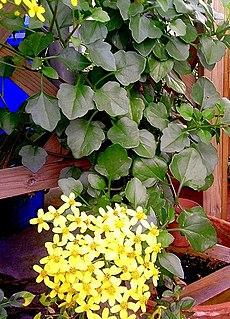 <i>Senecio angulatus</i> Species of flowering plant in the daisy family Asteraceae