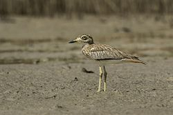 Senegal Thick-knee - Gambia (32528240471).jpg