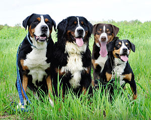 Swiss mountain dog - Representatives of the four mountain dog breeds