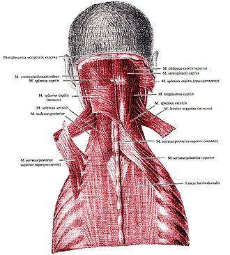 Serratus posterior superior muscle - Image: Serratus posterior superior