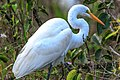 Shark Valley - bird Paradise W of Miami - Great Egret (Ardea alba) - (26692988240).jpg
