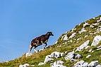 Sheep on a slope of Veliki Vrh, Karawanks, Slovenia 02.jpg