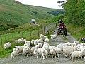 Shepherding at Ty'n Cornel, Cwm Doethie, Ceredigion - geograph.org.uk - 1427234.jpg